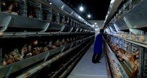 Новая птицефабрика появилась в ЮКО